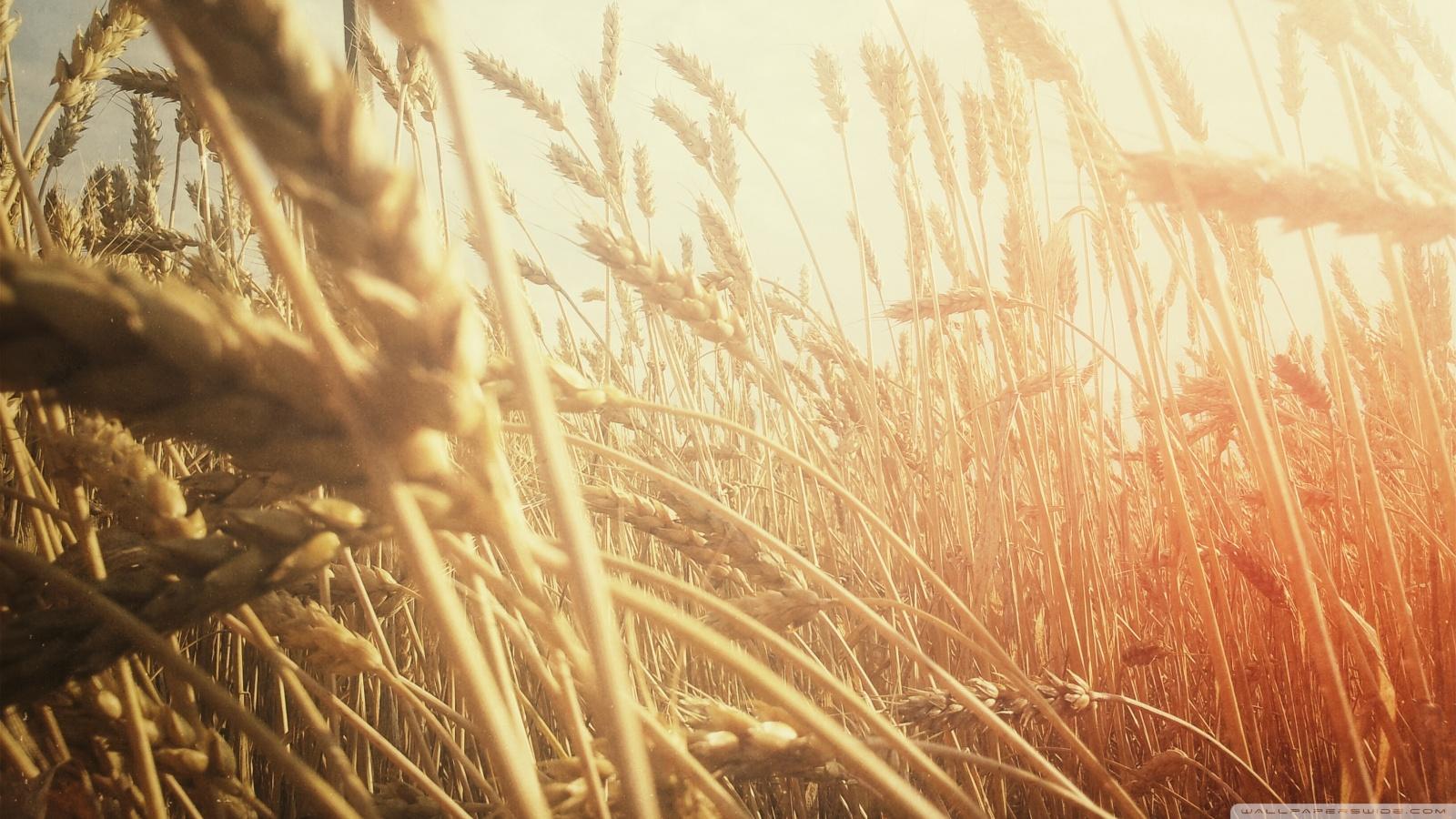 grain_field-wallpaper-1600x900